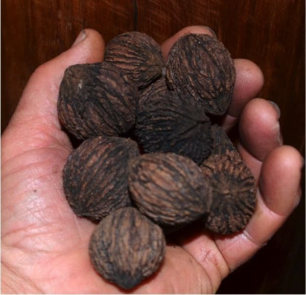 e: Black Walnut Seed-  Available fresh now